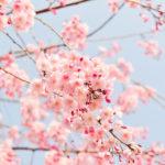 桜の開花予想は自分でもできた!開花予想において知っておくべき2つの予測方法とは?