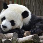 パンダの体はなぜ白黒なの?その理由について調べてみた!
